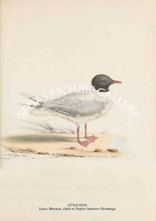 LITTLE GULL - Larus Minutus, Adult in Perfect Summer Plummage